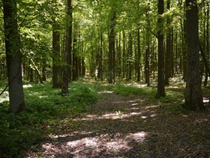 Ліс Волині