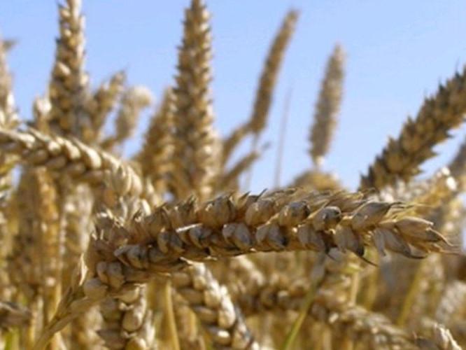 6 серпня: «прийшли Гліб і Борис – за хліб не берись»