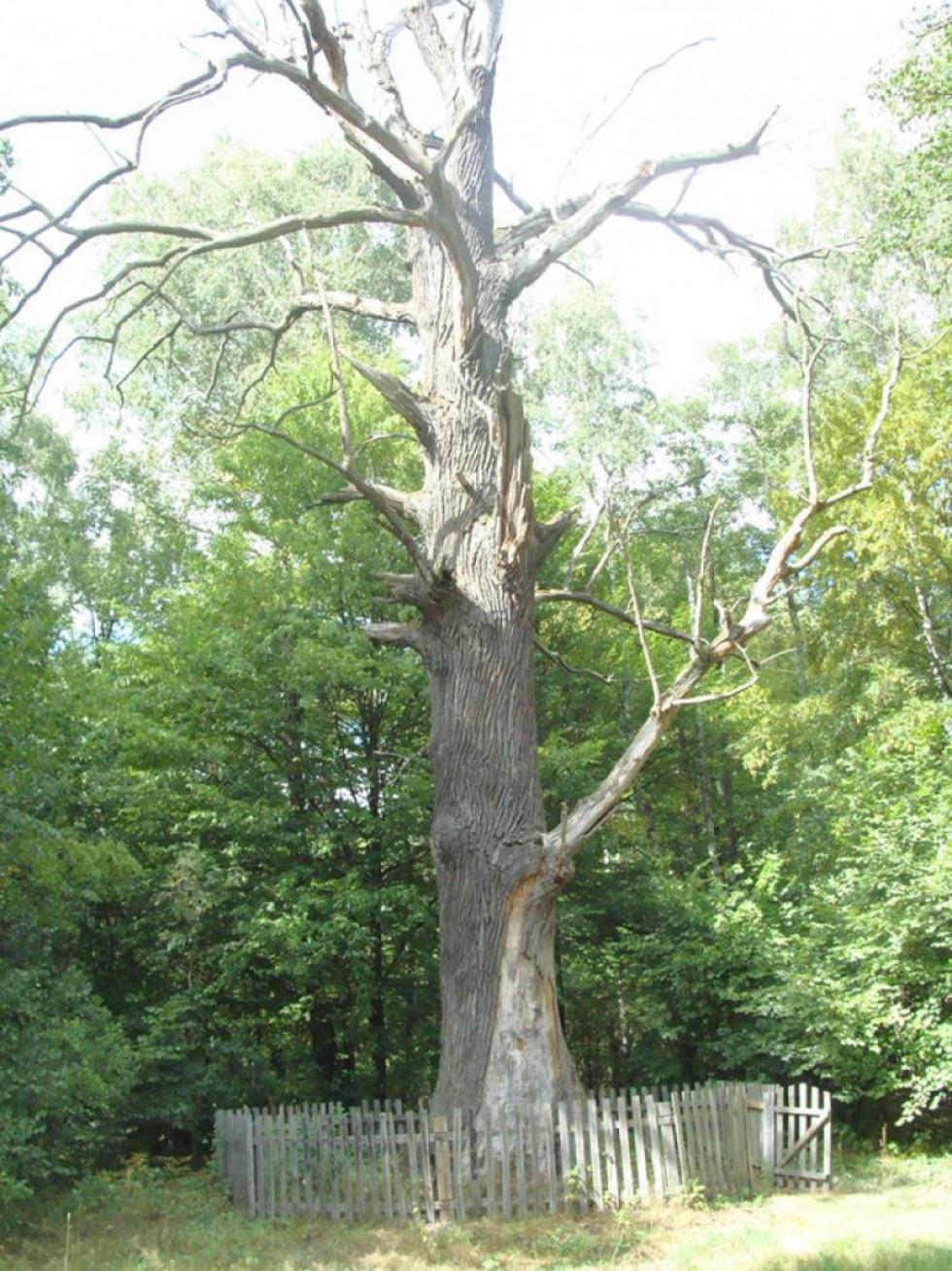 700-літній дуб
