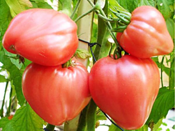 Помідори сорту Алсу мають червоні плоди серцеподібної форми. Дозрівають за 100 днів